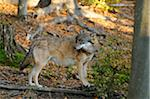 Gray Wolf, Bavarian Forest National Park, Bavaria, Germany Stock Photo - Premium Rights-Managed, Artist: David & Micha Sheldon, Code: 700-06570899