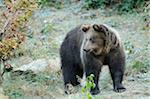 Brown Bear, Bavarian Forest National Park, Bavaria, Germany Stock Photo - Premium Rights-Managed, Artist: David & Micha Sheldon, Code: 700-06570900