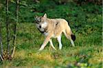 Gray Wolf Walking in Grass, Bavarian Forest, Bavaria, Germany Stock Photo - Premium Rights-Managed, Artist: David & Micha Sheldon, Code: 700-06570957