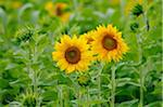 Sunflowers in Field, Bavaria, Germany Stock Photo - Premium Rights-Managed, Artist: David & Micha Sheldon, Code: 700-06570959
