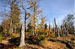 Landscape of dead trees fallen by bark beetles in autumn in the Bavarian forest, Bavaria, Germany. Stock Photo - Premium Royalty-Free, Artist: David & Micha Sheldon, Code: 600-06571150