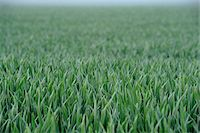 Landscape of a Wheat (Triticum) field in early summer, Upper Palatinate, Bavaria, Germany. Stock Photo - Premium Royalty-Freenull, Code: 600-06576193