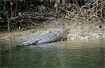 Crocodile emerging from river Stock Photo - Premium Royalty-Free, Artist: Robert Harding Images, Code: 6114-06592263
