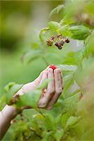 single fruits tree - Picking a raspberry Stock Photo - Premium Royalty-Freenull, Code: 6114-06599868