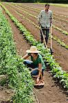 Woman picking vegetables and man using cultivator in field Stock Photo - Premium Royalty-Free, Artist: Blend Images, Code: 6114-06599912
