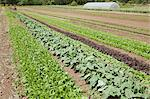 Field of vegetable crops Stock Photo - Premium Royalty-Free, Artist: Yvonne Duivenvoorden, Code: 6114-06599924