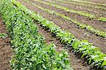 Field of vegetable crops Stock Photo - Premium Royalty-Free, Artist: Blend Images, Code: 6114-06599948