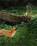 Fox following a rabbit in the forest Stock Photo - Premium Royalty-Free, Artist: Cultura RM, Code: 6114-06607708