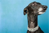 Portrait of a whippet Stock Photo - Premium Royalty-Freenull, Code: 6114-06609335