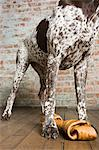 Pointer with dog chew Stock Photo - Premium Royalty-Free, Artist: Cultura RM, Code: 6114-06609350