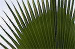 Palm leaf Stock Photo - Premium Royalty-Free, Artist: R. Ian Lloyd, Code: 6114-06610463