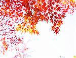 Red autumn maple leaves Stock Photo - Premium Royalty-Free, Artist: Allan Baxter, Code: 6106-06613609