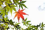 Red autumn maple leaf Stock Photo - Premium Royalty-Free, Artist: Jose Luis Stephens, Code: 6106-06613611