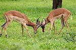 Impala rams sparring Stock Photo - Premium Royalty-Free, Artist: AWL Images, Code: 6106-06613887