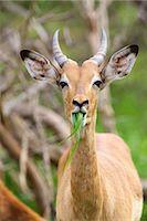 ram (animal) - Juvenile Impala ram feeding Stock Photo - Premium Royalty-Freenull, Code: 6106-06613892