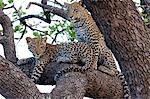 Leopard cubs in tree Stock Photo - Premium Royalty-Free, Artist: CulturaRM, Code: 6106-06613899