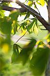 close-up of fresh green leaves on branch Stock Photo - Premium Royalty-Free, Artist: Oriental Touch, Code: 698-06615643
