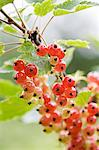 Cherries growing on tree Stock Photo - Premium Royalty-Free, Artist: Aflo Relax, Code: 698-06615757