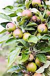 Apples growing on tree Stock Photo - Premium Royalty-Free, Artist: Blend Images, Code: 698-06615763