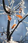 Selective focus of dried leaves on frosty plant Stock Photo - Premium Royalty-Free, Artist: CulturaRM, Code: 698-06616144