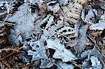 Frosty leaves including oak and bracken in Old Spring Wood near Summerbridge, North Yorkshire, England, United Kingdom, Europe Stock Photo - Premium Rights-Managed, Artist: Robert Harding Images, Code: 841-06616979