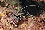Banded boxer shrimp (Stenopus tenuirostris), Southern Thailand, Andaman Sea, Indian Ocean, Asia Stock Photo - Premium Rights-Managed, Artist: Robert Harding Images, Code: 841-06617069