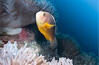 southeast asian - Anemonefish (Amphiprion ocellaris) and sea anemone, Southern Thailand, Andaman Sea, Indian Ocean, Southeast Asia, Asia Stock Photo - Premium Rights-Managednull, Code: 841-06617081