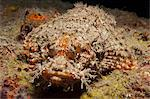 Scorpionfish (Scorpaenopsis), Southern Thailand, Andaman Sea, Indian Ocean, Southeast Asia, Asia Stock Photo - Premium Rights-Managed, Artist: Robert Harding Images, Code: 841-06617090