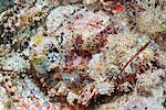 Scorpionfish (Scorpaenopsis), Southern Thailand, Andaman Sea, Indian Ocean, Southeast Asia, Asia Stock Photo - Premium Rights-Managed, Artist: Robert Harding Images, Code: 841-06617111
