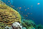 Tropical coral reef scene with a leafy cup coral (salad coral) (Turbinaria reniformi), Ras Mohammed National Park, off Sharm el Sheikh, Sinai, Egypt, Red Sea, Egypt, North Africa, Africa Stock Photo - Premium Rights-Managed, Artist: Robert Harding Images, Code: 841-06617129