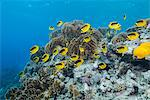 Shoal of Red Sea raccoon butterflyfish (Chaetodon fasciatus), Ras Mohammed National Park, off Sharm el Sheikh, Sinai, Egypt, Red Sea, Egypt, North Africa, Africa Stock Photo - Premium Rights-Managed, Artist: Robert Harding Images, Code: 841-06617132