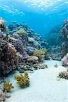 Coral reef scene close to the ocean surface, Ras Mohammed National Park, off Sharm el Sheikh, Sinai Red Sea, Egypt, North Africa, Africa Stock Photo - Premium Rights-Managed, Artist: Robert Harding Images, Code: 841-06617135