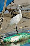 Little egret (Egretta garzetta) scanning for fish from shoreline of tidal creek near fishing boats, Tamsui (Danshui), Taiwan, Asia Stock Photo - Premium Rights-Managed, Artist: Robert Harding Images, Code: 841-06617186