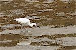 Little egret (Egretta garzetta) pulling a worm from mudflats at low tide, Hongshulin Mangrove Preserve, Taiwan, Asia Stock Photo - Premium Rights-Managed, Artist: Robert Harding Images, Code: 841-06617187