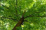 European Beech or Common Beech (Fagus sylvatica) tree in early summer, Bavaria, Germany. Stock Photo - Premium Royalty-Free, Artist: David & Micha Sheldon, Code: 600-06620925
