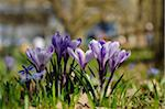 Crocus blossoms (Crocus vernus) in the grassland in early spring, Bavaria, Germany Stock Photo - Premium Royalty-Free, Artist: David & Micha Sheldon, Code: 600-06620929