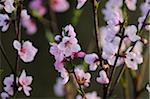 Close-up of peach (Prunus persica) blossoms in a garden in spring, Austria Stock Photo - Premium Royalty-Free, Artist: David & Micha Sheldon, Code: 600-06620985
