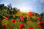 Red flowers growing in field Stock Photo - Premium Royalty-Free, Artist: AWL Images, Code: 649-06622287