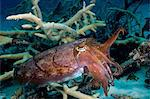 Cuttlefish waves tentacles Stock Photo - Premium Royalty-Free, Artist: Boone Rodriguez, Code: 614-06623286