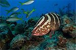 Nassau grouper on a coral reef Stock Photo - Premium Royalty-Free, Artist: David & Micha Sheldon, Code: 614-06623295