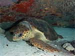 Sleeping Loggerhead turtle Stock Photo - Premium Royalty-Free, Artist: AWL Images, Code: 614-06623307