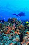 Diver swimming in coral reef Stock Photo - Premium Royalty-Free, Artist: Minden Pictures, Code: 614-06624876