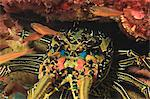 Close up of spiny lobster's face Stock Photo - Premium Royalty-Free, Artist: Minden Pictures, Code: 614-06624924