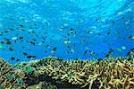 Fish swimming in coral reef Stock Photo - Premium Royalty-Free, Artist: CulturaRM, Code: 614-06624930