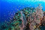 Fish swimming in coral reef Stock Photo - Premium Royalty-Free, Artist: Minden Pictures, Code: 614-06624954