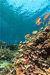 Fish swimming in coral reef Stock Photo - Premium Royalty-Free, Artist: Blend Images, Code: 614-06624960