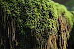 Close up of moss growing on log Stock Photo - Premium Royalty-Free, Artist: F. Lukasseck, Code: 614-06625449