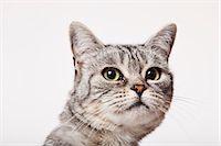 superior - Close up of cat's face Stock Photo - Premium Royalty-Freenull, Code: 6113-06626242