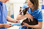 Veterinarians bandaging dog's leg in vet's surgery Stock Photo - Premium Royalty-Free, Artist: Yvonne Duivenvoorden, Code: 6113-06626425