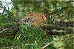 Portrait of Leopard (Panthera pardus) in Tree, Maasai Mara National Reserve, Kenya Stock Photo - Premium Royalty-Free, Artist: Christina Krutz, Code: 600-06645554